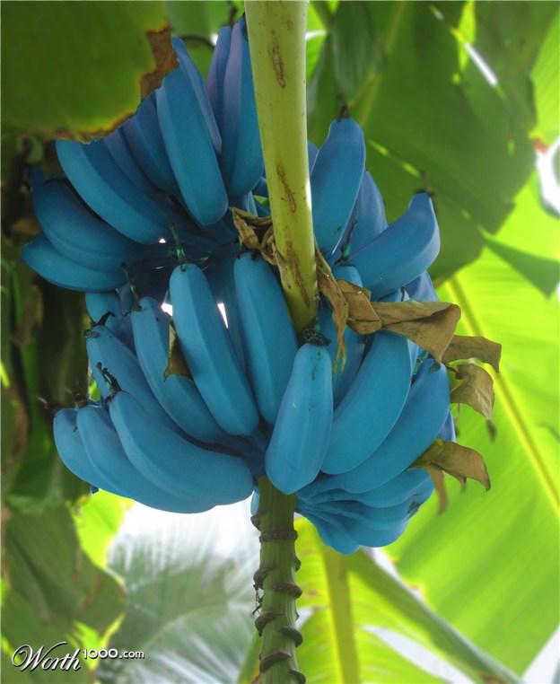 Go Back > Gallery For > Blue Banana Fruit