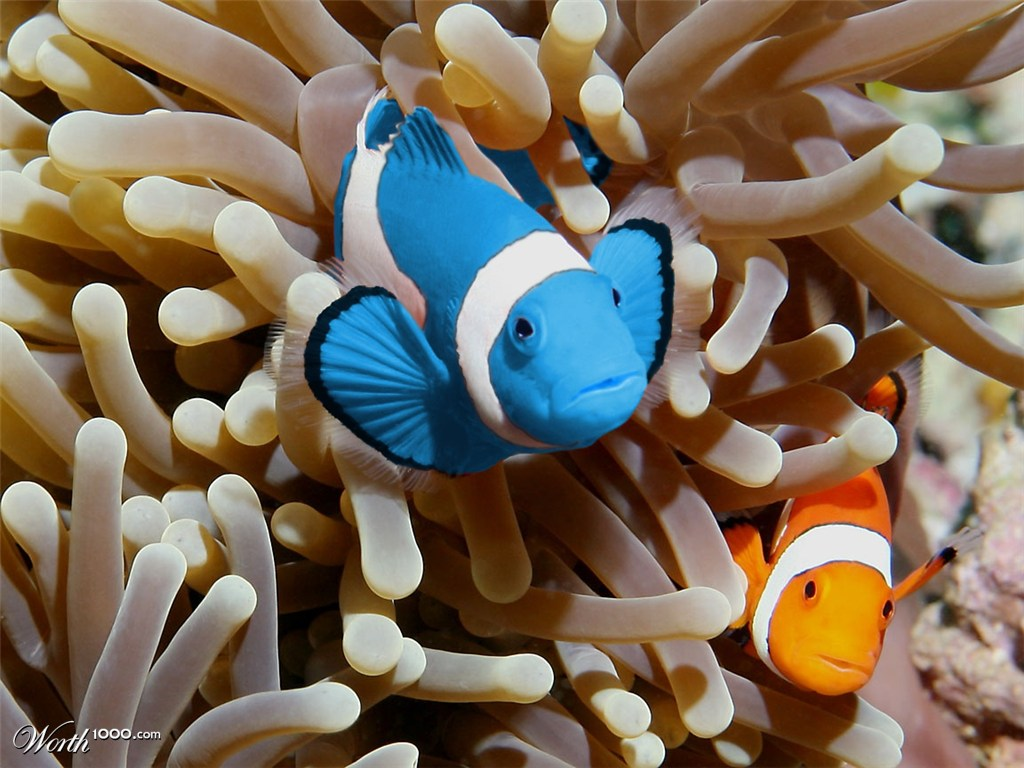 Clownfish for Blue clown fish