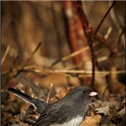 Junco Sparrow