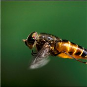 Syrphid Fly in flight