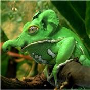 Elefrog