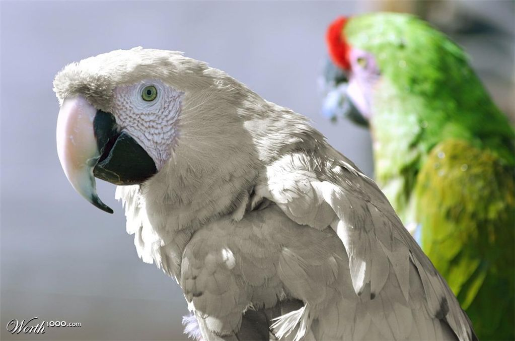 White Macaw Parrots White macaw by hcazorp