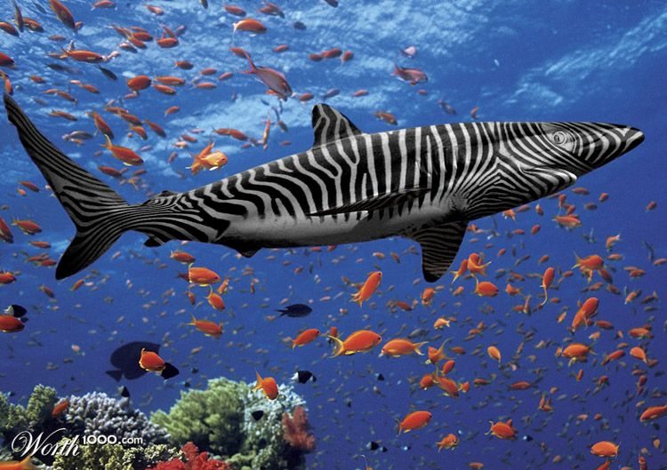 zebra shark by enryco 24th place entry in surf and turf 4Zebra Shark