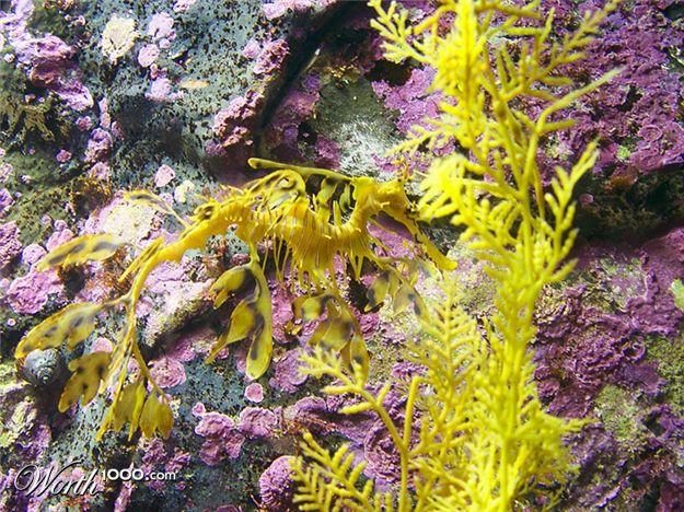 Leafy sea dragon camouflage