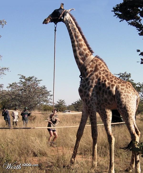 the gallery for gt two legged giraffe