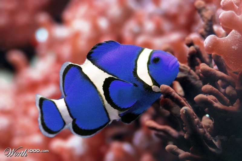 Blue clown fish worth1000 contests for Show me pictures of fish