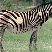 American Zebra
