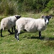 B2B - Sheepies