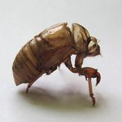 B2B - Cicada Husk