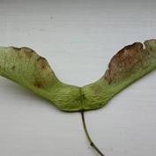 B2B - Sycamore Seed