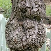 B2B - Gnarled Tree
